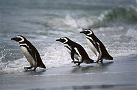 Magellanic Penguin (Spheniscus magellanicus) on beach. Falkland Islands, UK
