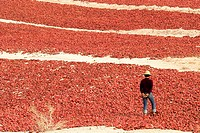 China, Xinjiang, dried peppers