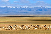 China, Xinjiang, south of Buerjin, herd