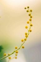 Yellow Mimosa. Silver Wattle. Acacia dealbata. February 2007. Maryland, USA