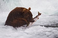 Brown Bear with a fresh catch of salmon in Katmai National Park, Alaska, USA