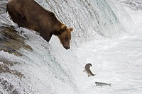 Brown Bear fishing in Katmai National Park, Alaska, USA