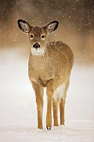 White-tailed Deer (Odocoileus virginianus). New York. Fawn. In the snow. Found over much of the U.S. southern Canada and Mexico and introduced elsewhe...