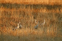 Sandhill cranes in a field at Bosque del Apache National Wildlife Refuge, New Mexico, USA. November 2007.