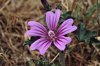 Common Mallow (Malva silvestris)
