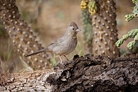Brown Towhee (Pipilo fuscus). Arizona. Range is coastal and foothill chaparral from Oregon to S. Baja California and brush country of the southwestern...