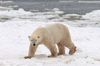 Manitoba, Churchill region, a lone male polar bear waiting for the ice of the Hudson Bay to freeze over