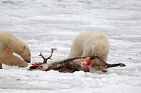 Manitoba, Hudson bay, unique photos of male polar bear feeding on a caribou carcass