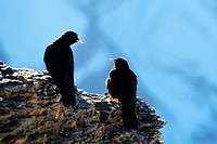 Alpine Chough (Pyrrhocorax graculus), Swiss Alps, Schilthorn, Bernese Oberland, Bern, Switzerland