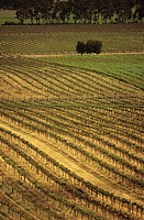 Rows of vines at vineyard elevated view central Victoria Australia