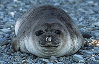 Antarctica South Georgia Island Weddell Seal on pebble beach close up