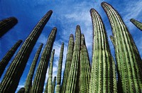 USA Arizona Organ Pipe Cactus against sky low angle view