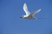 Red Tailed Tropicbird Phaethon rubricauda in flight