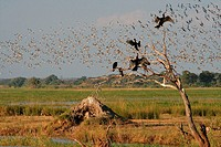 Flocks of birds at Chobe National Park. Botswana