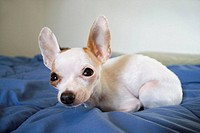 An adult female Chihuahua on a bed, closeup with wide angle view