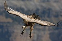 Griffon Vulture (Gyps fulvus) in flight