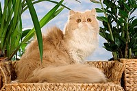 Persian cat _ sitting on sofa
