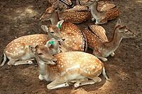 Deer, Simba Safari, São Paulo, Brazil