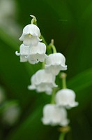 Lily of the Valley, Lily_of_the_Valley , Convallaria majalis