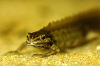 Smooth newt, Triturus vulgaris