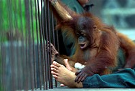 Bornean Orangutan, Orangutan, Orang Utan, Pongo pygmaeus