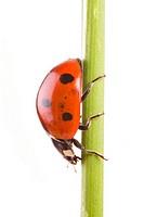 seven_spot ladybird, sevenspot ladybird, 7_spot ladybird, Coccinella 7_punctata, Coccinellia septempunctata