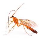 wasp, Therion circumflexum