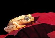 African golden leaf folding frog, Lesser Banana Frog, Afrixalus brachycnemis