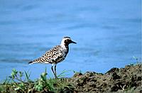 Gray Plover, Greece, Pluvialis squatarola, side