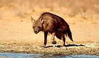 Brown Hyaena, Kalahari Gemsbok Park, South Africa, Hyaena brunnea