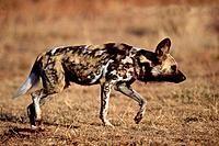 African Hunting Dog, Gauteng Province, South Africa, Lycaon pictus, side, freistellbar