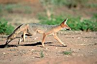 Cape Fox, Kalahari Gemsbok Park, South Africa, Vulpes chama, side
