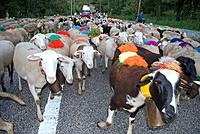 Domestic Sheep on road, decorated, Cevennes, France, bells
