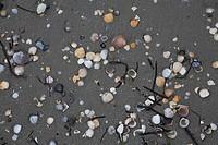 Italy - Friuli-Venezia Giulia Region - Gorizia Province - Grado Lagoon - Isola delle Conchiglie (Shell Island). Seashells