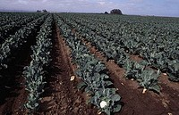 Cauliflowers growing in a field, Salinas, California, USA