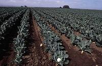 Cauliflowers growing in a field, Salinas, California, USA