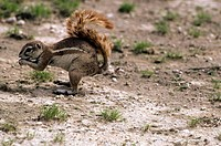 desert squirrel, kalahari, south africa