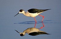 black_winged stilt, himantopus himantopus