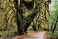 Lush moss in the Hoh Rain Forest of the Pacific North West, USA
