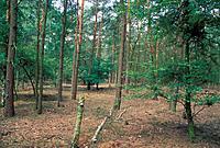 BELGIUM _ KALMTHOUT _ KALMTHOUTSE HEIDE NRPINE FOREST