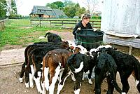 Woman feeding baby calves in a farm in Hautapu, Cambridge, New Zealand