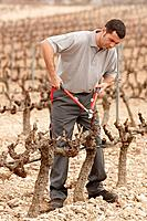 Pruning a vineyard. Andosilla, Navarra, Spain.