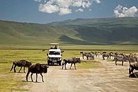 Wildebeest and zebras in the crater floor, Ngorongoro crater, Tanzania