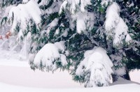 Cupressus sempevirens, Cypress