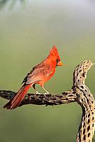 Northern Cardinal (Cardinalis cardinalis), male