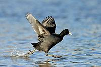 Coot, Fulica atra, running coot on water