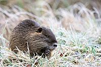 Nutria or coypu, Myocastor coypus, feeding in winter, Germany