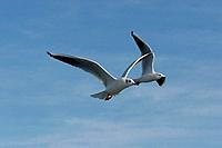 Belgium,seagull