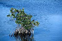 Red Mangrove (Rhizophora mangle). Sanibel Island. Florida. USA