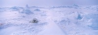Harp Seal, Phoca groenlandica, Pagophilus groenlandicus